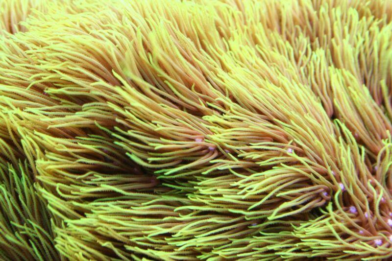 "Live Coral:Bright Green Star Polyps on 2""x2""Fiji Rock!! FREE OVERNIGHT SHIP"