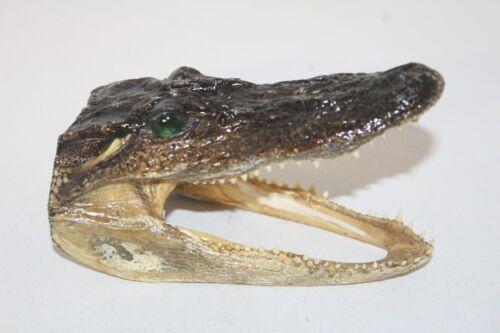 1 Alligator head  006     5.5 inches