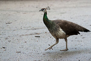 Wanted Peahen