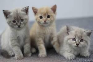 3 Adorable Kitttens For Sale