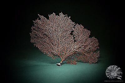 Annella spec. + Subergorgiidae + Hornkoralle + Koralle + coral + Präparat