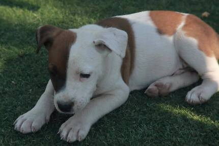 Amstaff X Cattle PUPPIES!!! $300 Only 3 Left!