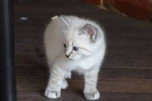 Fluffy kittens! 7 week old Beautiful persian grey, tabby, siamese
