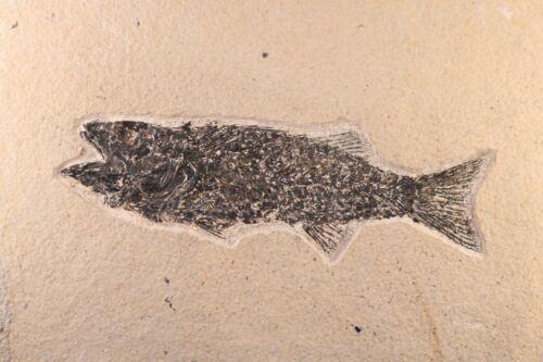 "Fossil Fish 7.3"" Mioplosus Great Teeth Green River Formation Wyoming COA 10621"