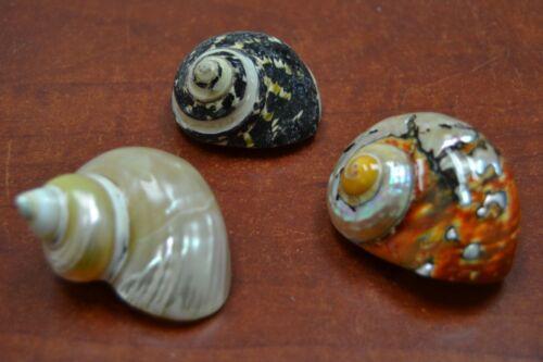 "3 PCS ASSORT SEA SHELLS TURBO HERMIT CRAB 2"" - 2 1/2"" #7060/70/974"