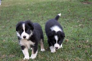 Purebred Border Collie Puppy Highfields Toowoomba Surrounds Preview