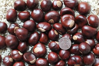 25 Quarter Size Buckeye Nuts   2017 Crop   Dried And Ready For Use   Central Oh