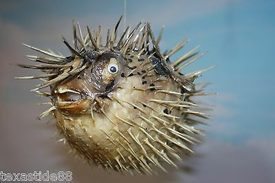 "(1) Sushi Restaurant Decor, Porcupine Fish, Blow Fish, Preserved, 12"", Taxidermy"