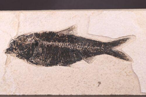 "Fossil Fish 5.2"" Nice Dark Knightia Green River Formation Wyoming COA 10495"