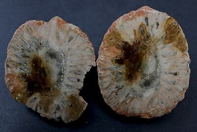 Petrified pine cone (Araucaria Mirabilis) - Patagonia, Argentina 28AA