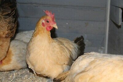 12 Japanese Bantam Chicken Eggs Buff W Black Tail Serama Size Birds Extra