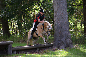 Haflinger Gelding Logan Village Logan Area Preview