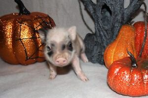 We have Mini Pigs Available!