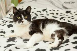 AC1010 : Syrus - CAT for ADOPTION - Vet Work Included