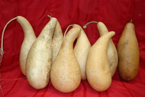 PENGUIN/POWDER HORN OR TALL BODY GOURDS GROUP OF 8 MEDIUM