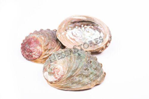 "Threaded Abalone Sea Shell One Side Polished Beach Craft 4"" - 5"" (3 pcs) #JC-155"