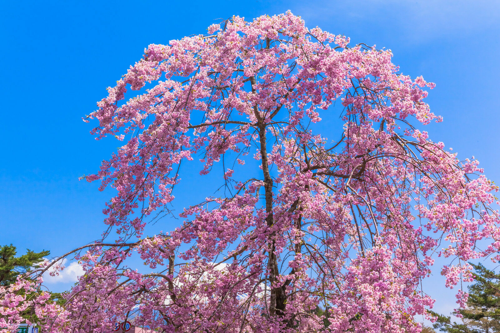 Cheals Weeping Flowering Cherry Tree 4 5ft In 5l Potprrulata