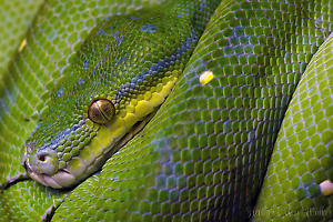 ** PRICE DROPPED MUST SELL Aussie native green tree python Millgrove Yarra Ranges Preview