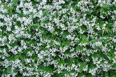 5 x Pianta di Rhyncospermum falso gelsomino bianco rampicante rincospermo vaso 7