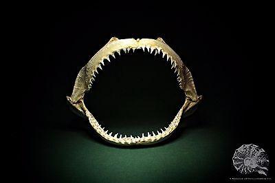 Negaprion brevirostris + Carcharhinidae + lemon shark + Zitronenhai + Gebiss