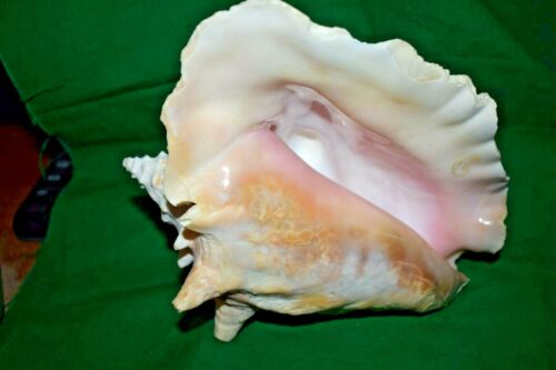 """Estate: Real Ocean Sea Shell  Conch Shell  7"""" tall x 7"""" x 6"""" Natural Find"""