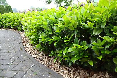 Kirschlorbeer Novita 15st. 80-100cm im Topf  Heckenpflanzen Prunus