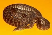 Young Adult Stimsons Python - Quality Male Iluka Joondalup Area Preview