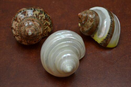 "3 PCS ASSORT SEA SHELLS TURBO HERMIT CRAB 2"" - 2 1/2"" #7058/70/71"