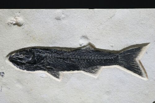 """Fossil Fish 9.6"""" Mioplosus & Gastropods Green River Formation Wyoming COA 10588"""