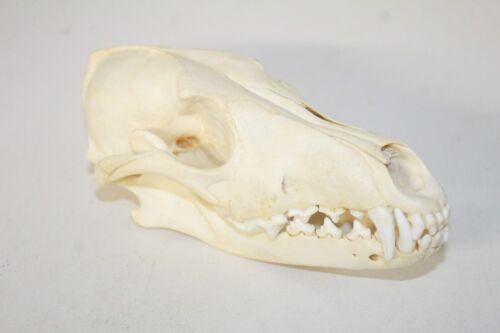 1 Coyote skull   509