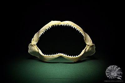 Carcharhinus falciformis + Carcharhinidae + silky shark + Seidenhai + Gebiss