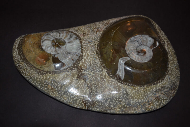 TWO (2) NAUTILUS NAUTILE FOSSIL EMBEDDED in ROCK shell jurassic beautiful art
