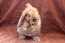 Beautiful sooty fawn mini lop bunny rabbit for sale Willetton Canning Area Preview