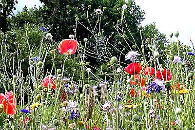 Garten, Wildblumen (Wildblumen + Wildkräuter über 30 Sorten Naturgarten Wiese Bienen über 500 Samen )