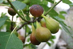 Large Fig Tree 'Brown Turkey' In a 2L Pot, Ready to Fruit, Sweet Taste