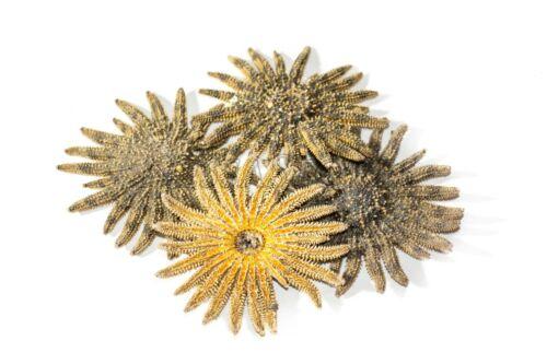 "Multileg Sunflower Starfish Sea Shell Wedding Real Beach Craft 2-3""(4 pcs)#JC-52"