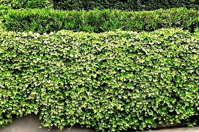 5 English Ivy Roots Live Plants Living Fence Pot Patio Cover your Lawn Green ()