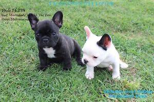 ANKC registered French Bulldog
