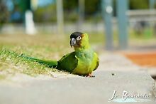 WANTED nanday conure Regents Park Logan Area Preview
