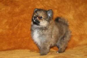 purebred toy pomeranian puppies