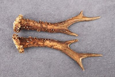Used,  NATURALLY SHED WILD ROE DEER ANTLER SET (HORN, CABIN, KNIFE, CARVING, JEWELRY) for sale  Shipping to Canada