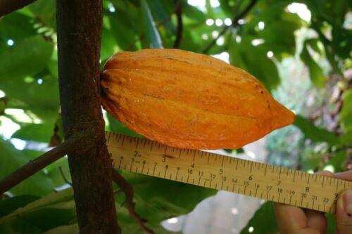KING of Cacoa RARE CRIOLLO POD 2 fresh whole cocoa pod (theobroma cacao)