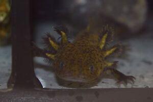 Axolotls Marion Marion Area Preview