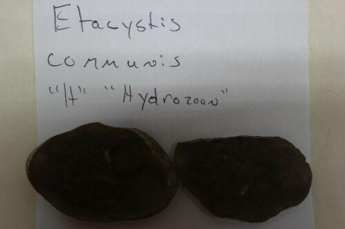 Mazon Creek Fossil Animal Hydrozoan Etacystis communis Fossils  Lot X19