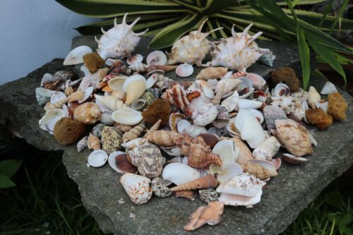 Huge Lot of Seashells 5+ LBS Sea Shells Best Price! Free Ship!
