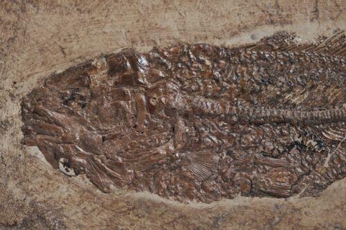Excellent 20cm. Fossil Fish Amia Bowfin Cyclurus Kehreri Messel Germany Eocene