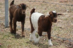 Miniature goat for sale Maitland Maitland Area Preview