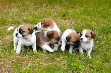 Jack Russell Puppies Herne Hill Swan Area Preview