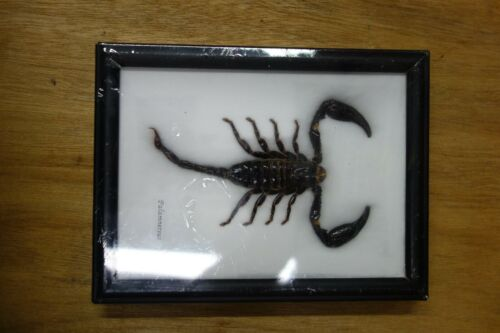 REAL TAXIDERMY SCORPION FRAMED