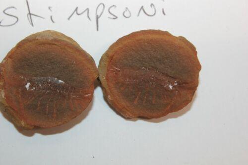 Mazon Creek Fossil Animal Shrimp Acenthotelson stimpsoni  Lot X38